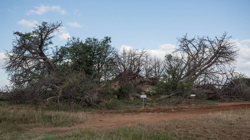 Baobá na África do Sul