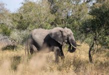 Safári no Kruger Park por conta própria de maneira econômica