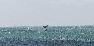 Dicas de onde ver baleias em Santa Catarina: Rota da Baleia Franca