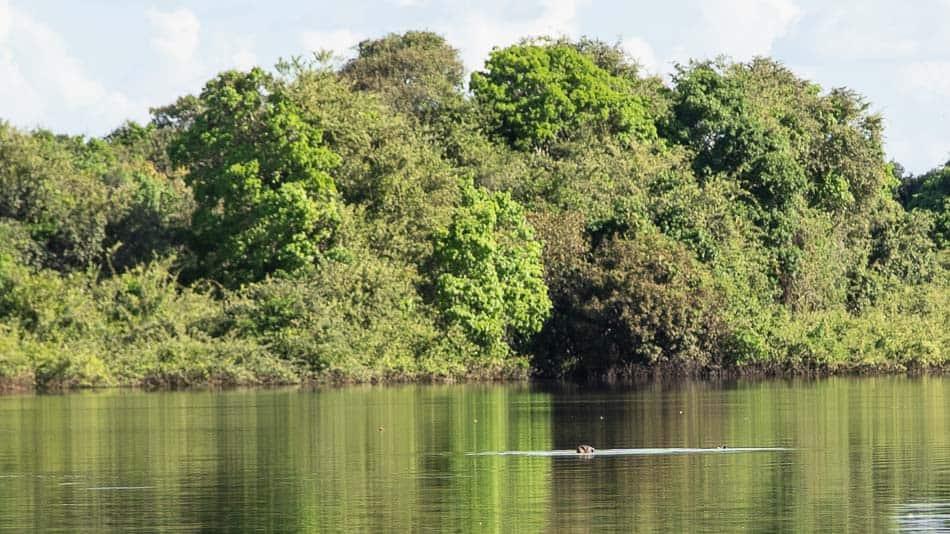 Ariranha no Cantão, Tocantins