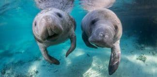 Crystal River: nadando com peixes-boi na Flórida