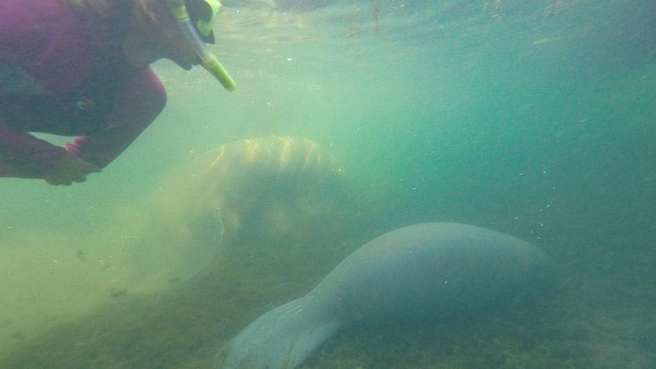 Mergulho com peixes-boi em Crystal River