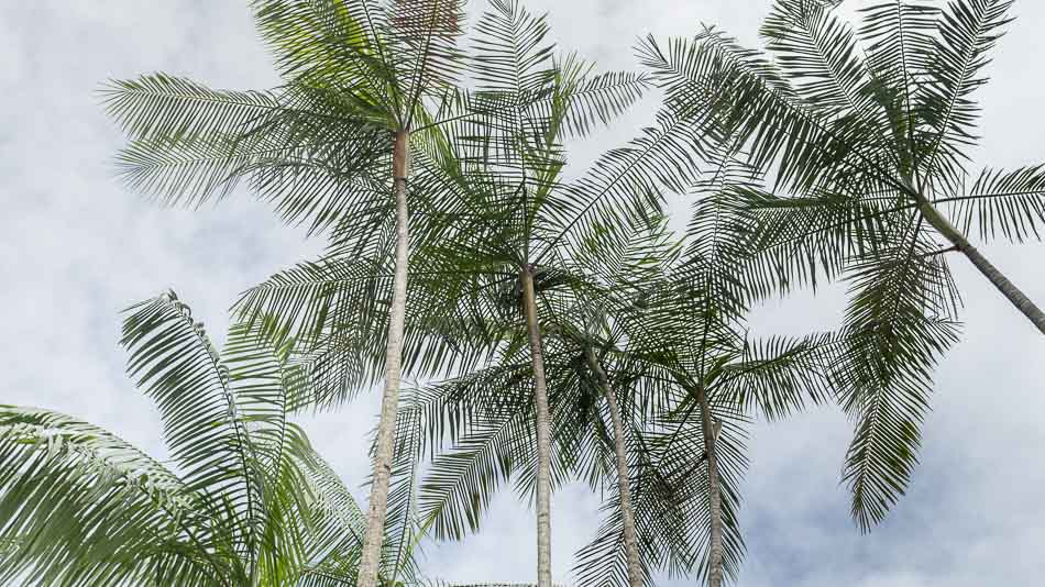 Copa da palmeira de açai no Amapá