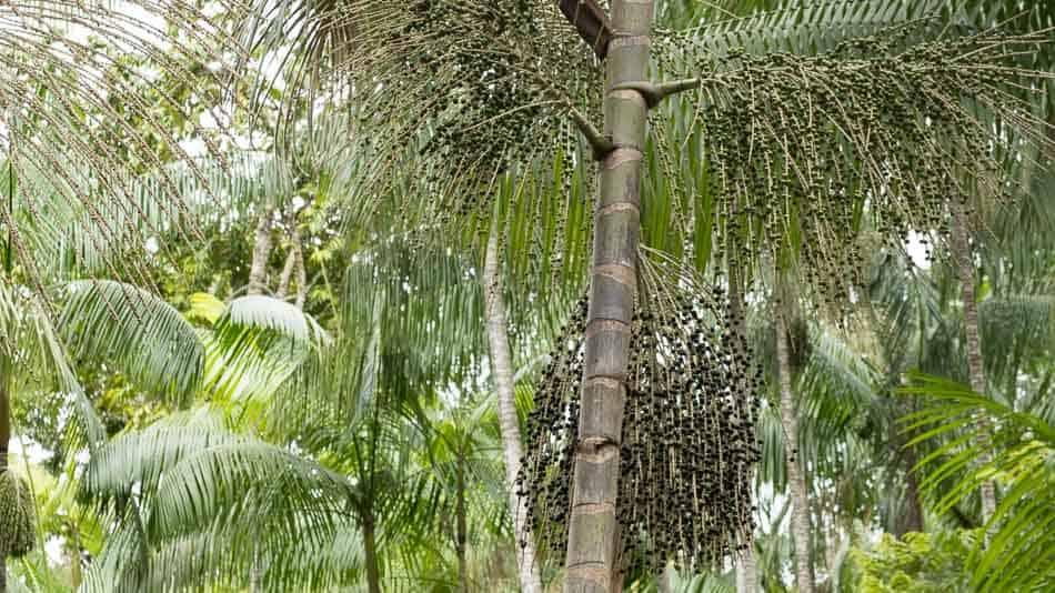 Palmeira de açai no Amapá