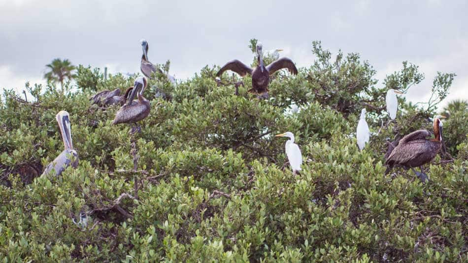 Pássaros na Indian River Lagoon, na Flórida
